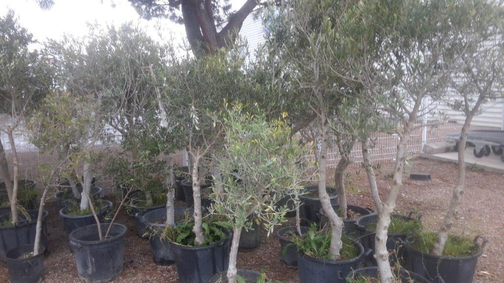destockage arbre olivier en pot dalifruits
