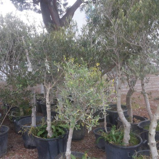 olivier dalifruits jardinerie destockage