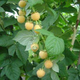 petits-fruits-framboise-jaune